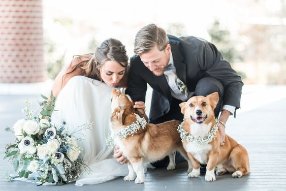 A bride and groom are bent down to two corgi dogs, one of the dogs is kissing the bride.