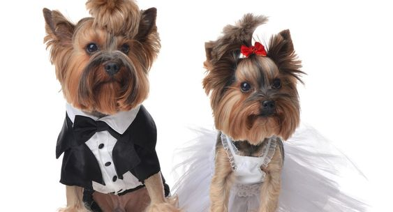 Two small Yorkshire terriers in a tuxedo and wedding dress
